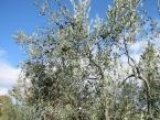 foto-raccolta-olive-novembre-2010