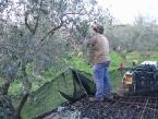 foto-raccolta-olive-novembre-2010-015