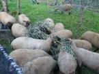 Pecore che mangiano  rami d'olivi