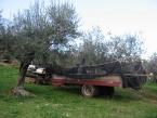 foto-raccolta-olive-novembre-2010-029