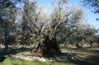 Olivo secolare di Macciano a 4km dall'Agriturismo